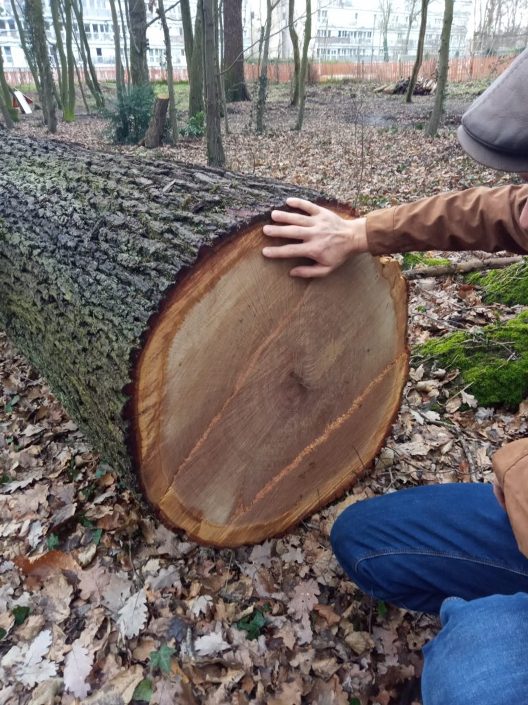 Chêne 150 ans abattu